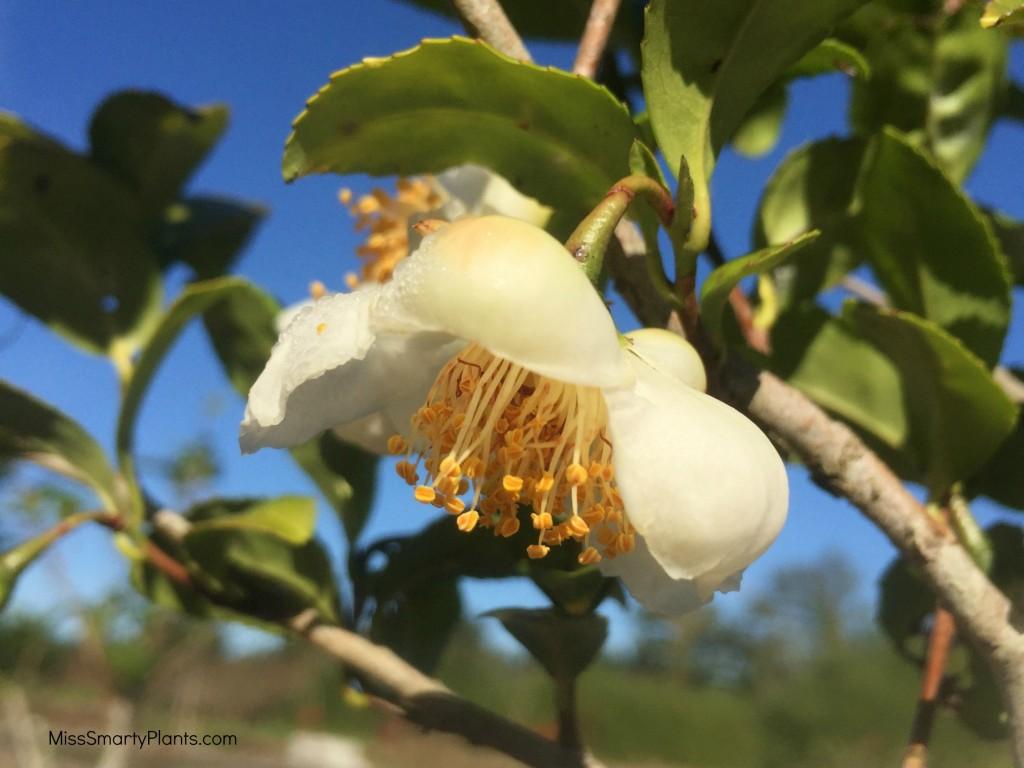 Tea camellia flower Camellia sinensis flower