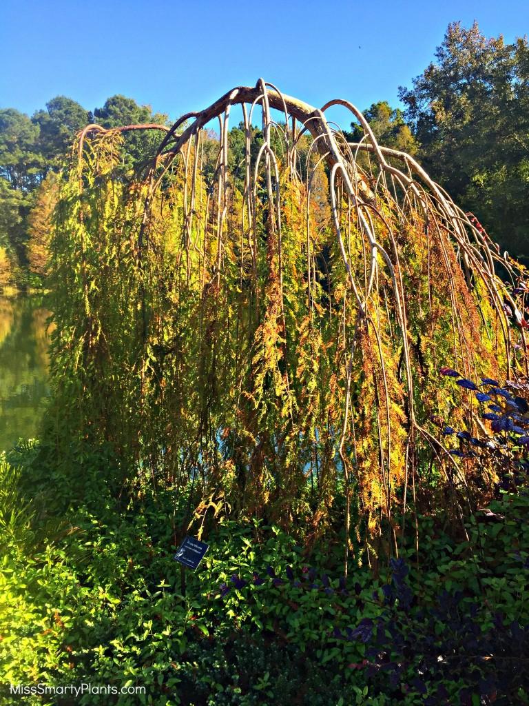 Weeping Baldcypress Taxodium distichum 'Fallingwater'