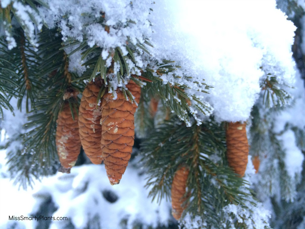 pinecones covered in snow