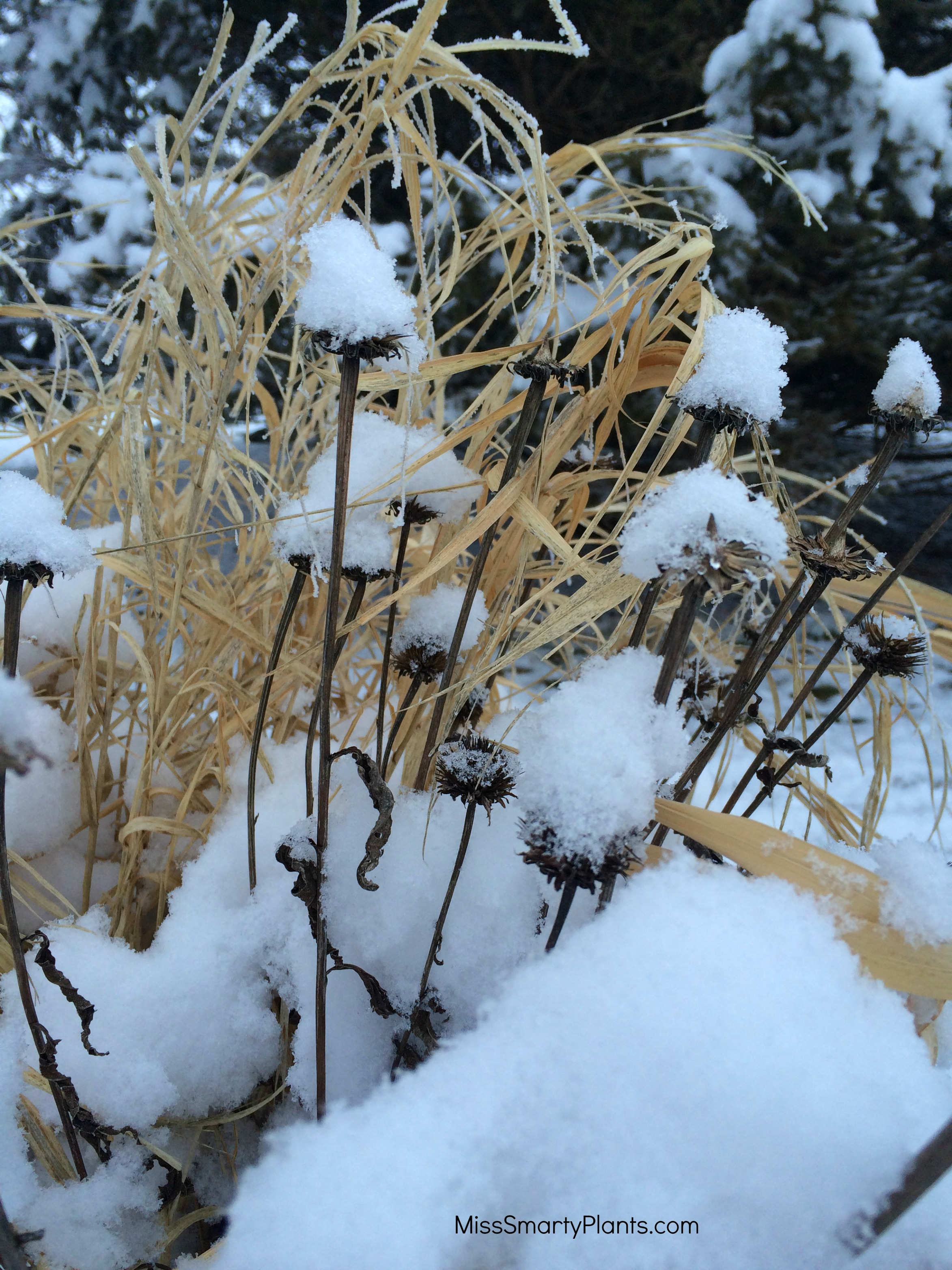 winter interest in the garden miss smarty plants