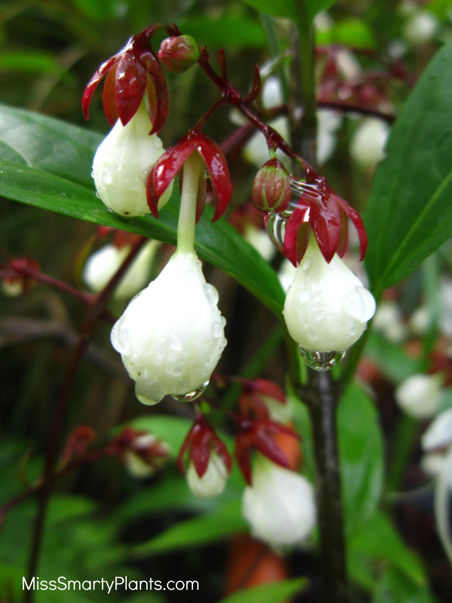 clerodendrum for florida miss smarty plants. Black Bedroom Furniture Sets. Home Design Ideas