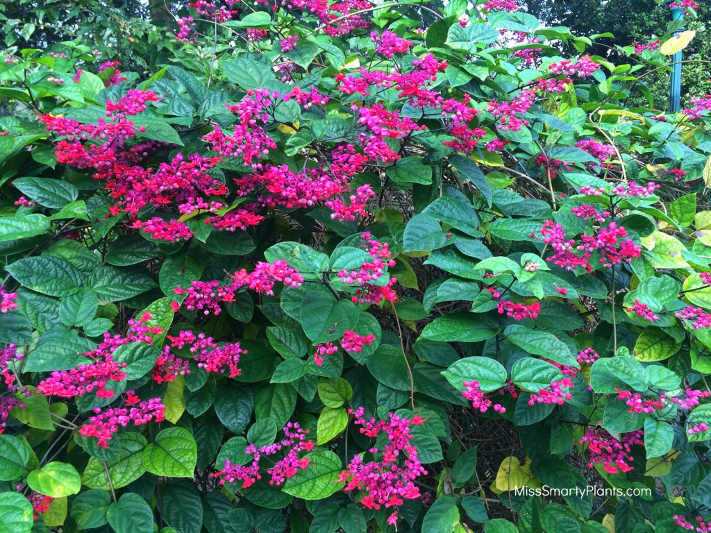Clerodendrum x speciosum, Bleeding Heart Vine
