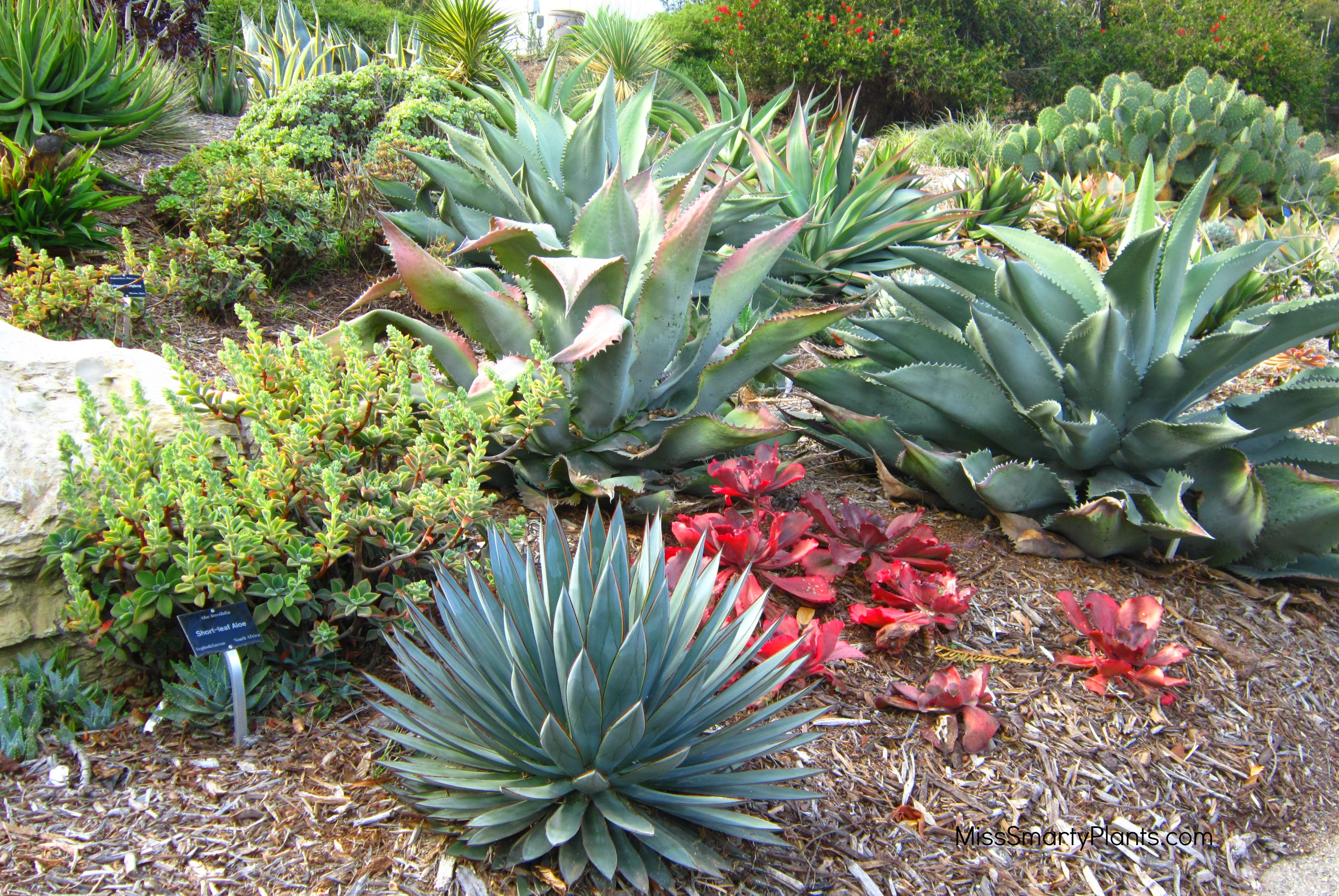 agaves and aloes at the south coast botanic garden miss smarty