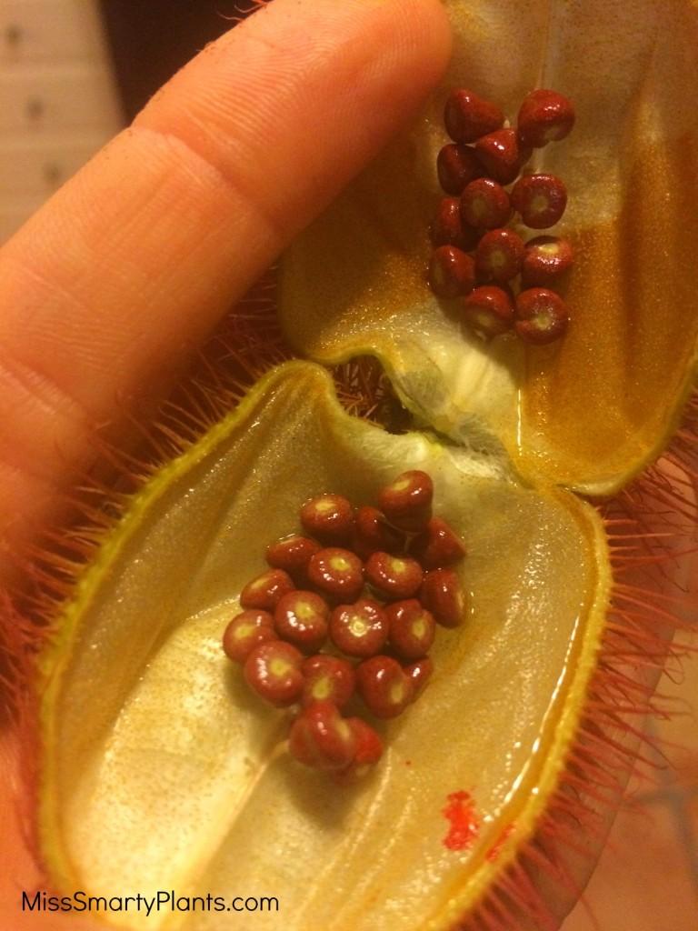 Bixa orellana, Lipstick tree seed pods for dye