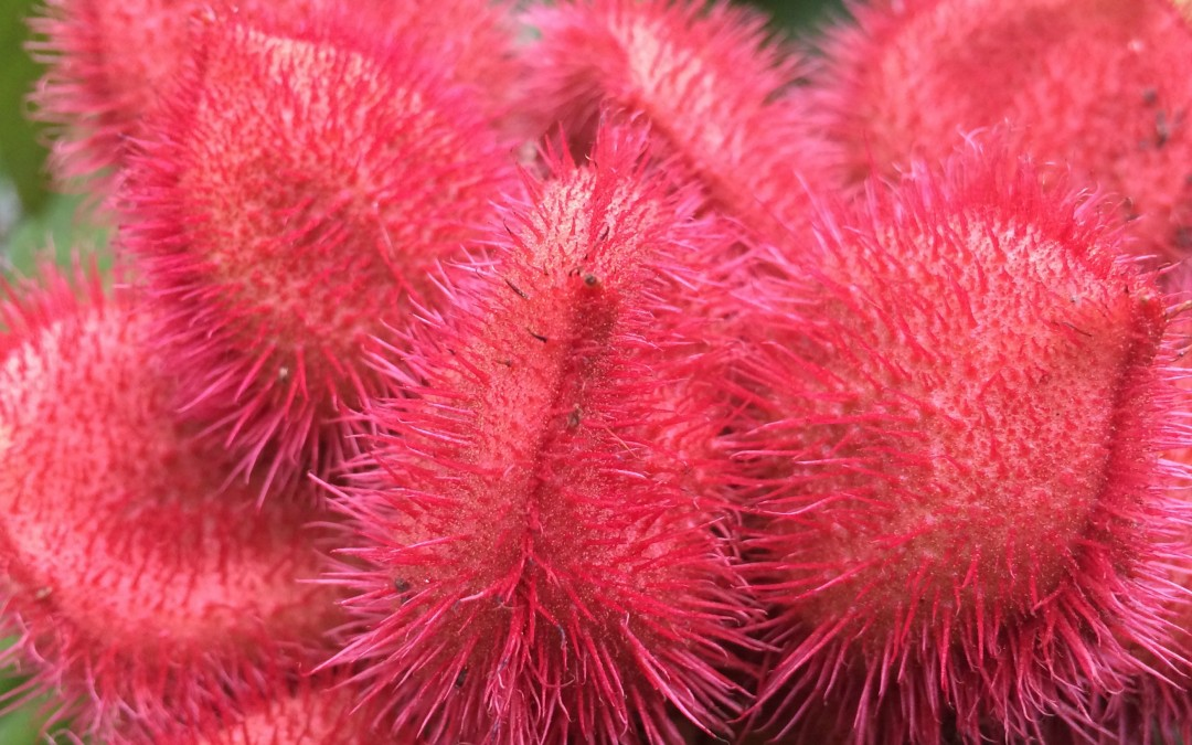 Lipstick Tree, Bixa orellana