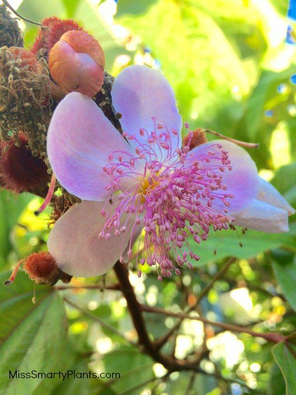 Lipstick tree flowers, bixa orellana