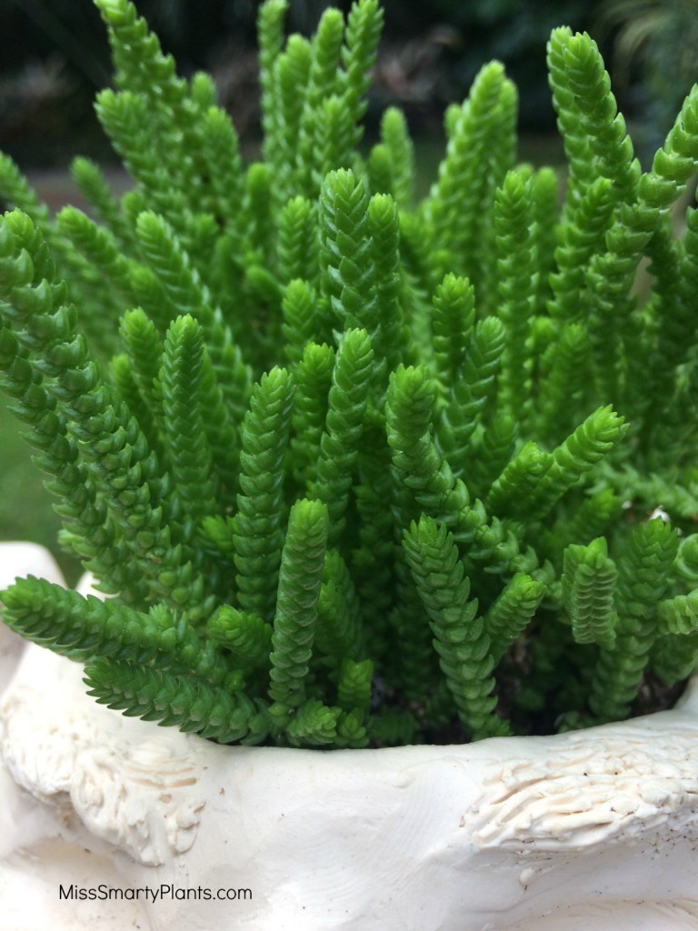Watch Chain Plant, Crassula muscosa