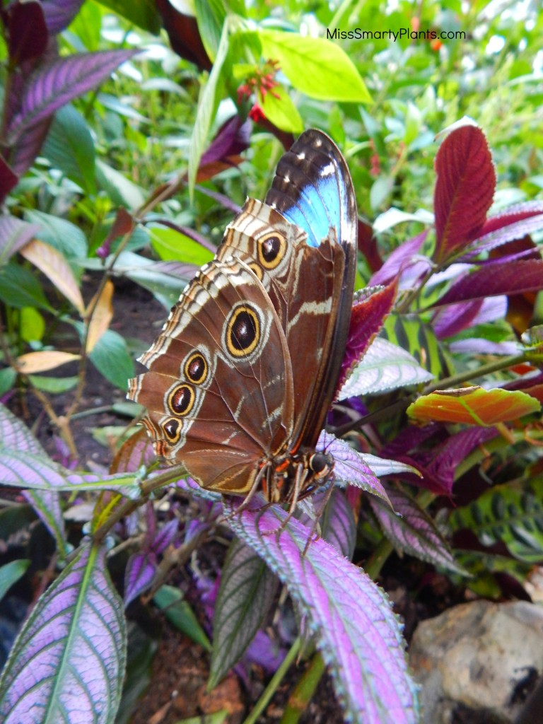Morpho Butterfly at Butterfly Rainforest