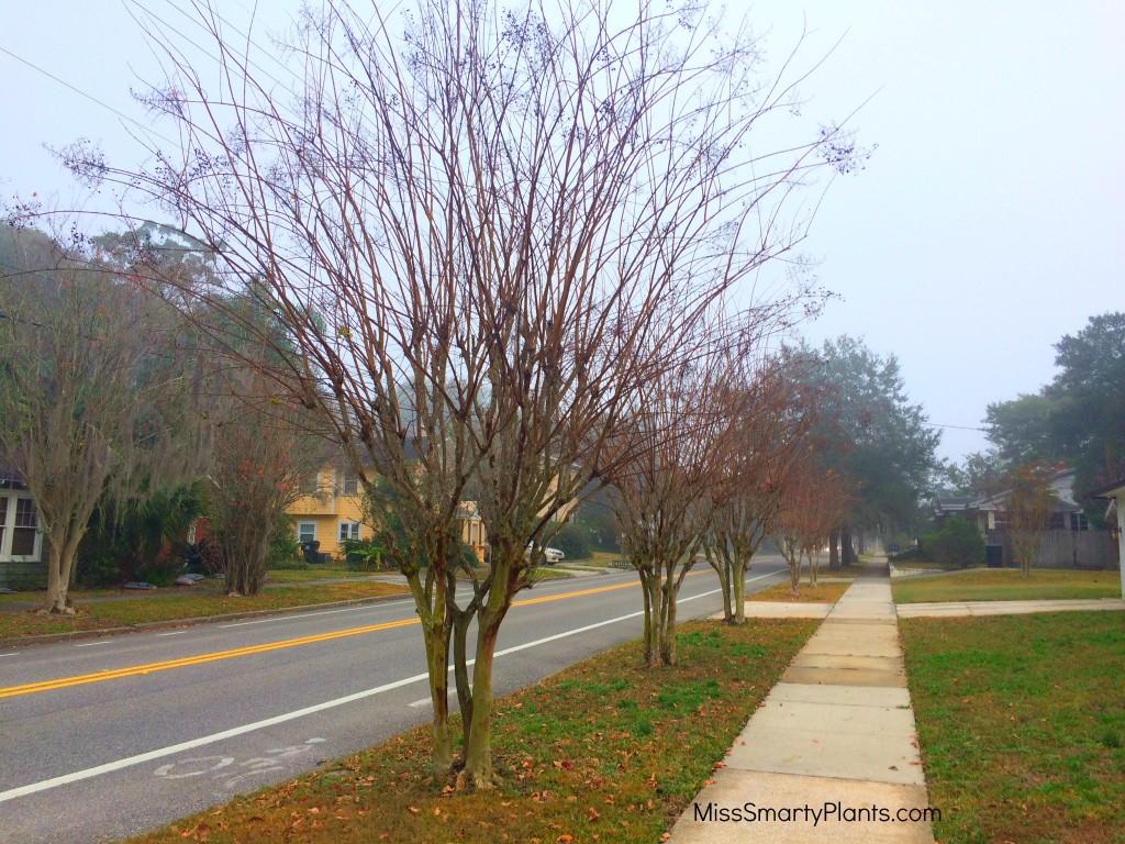 pruning crape myrtle