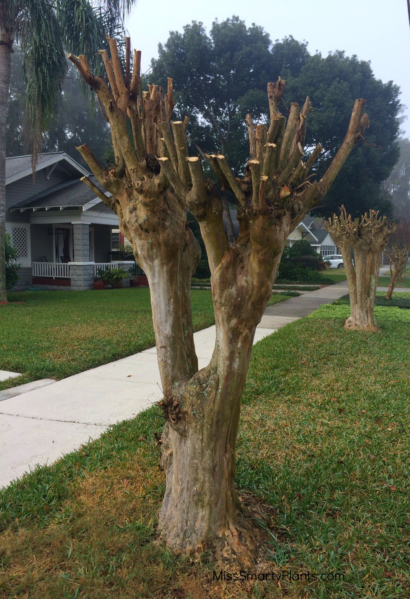 Pruning Crape Myrtle Miss Smarty Plants