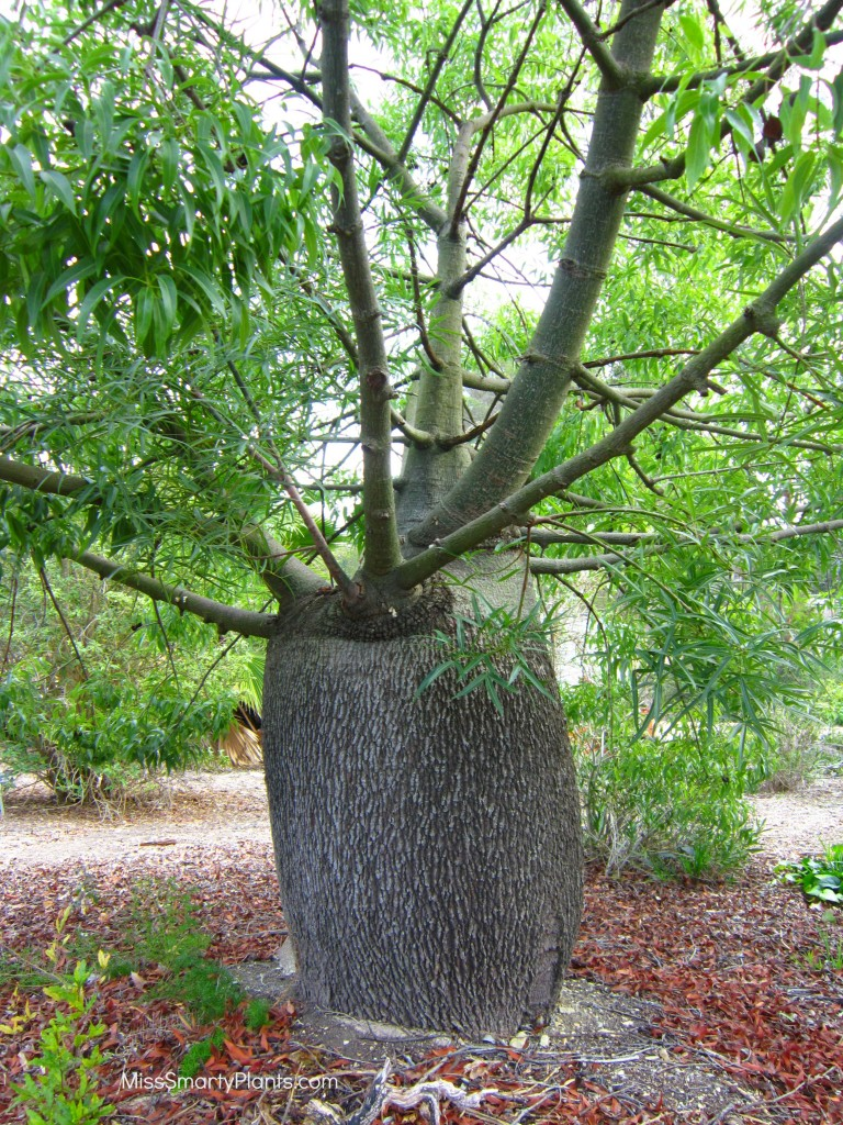 Queensland Bottle Tree, Brachychiton rupestris