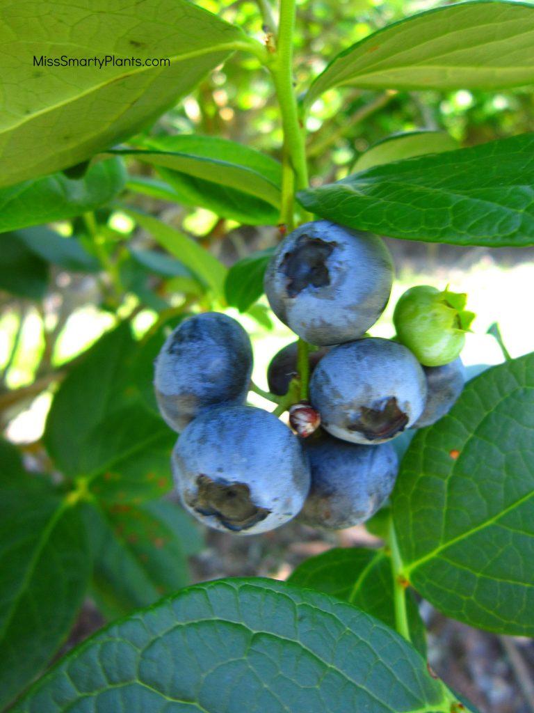 Blueberry picking Orlando