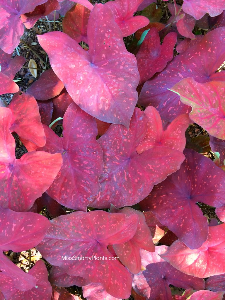 Caladium 'Burning Heart' from Classic Caladiums new caladium varieties