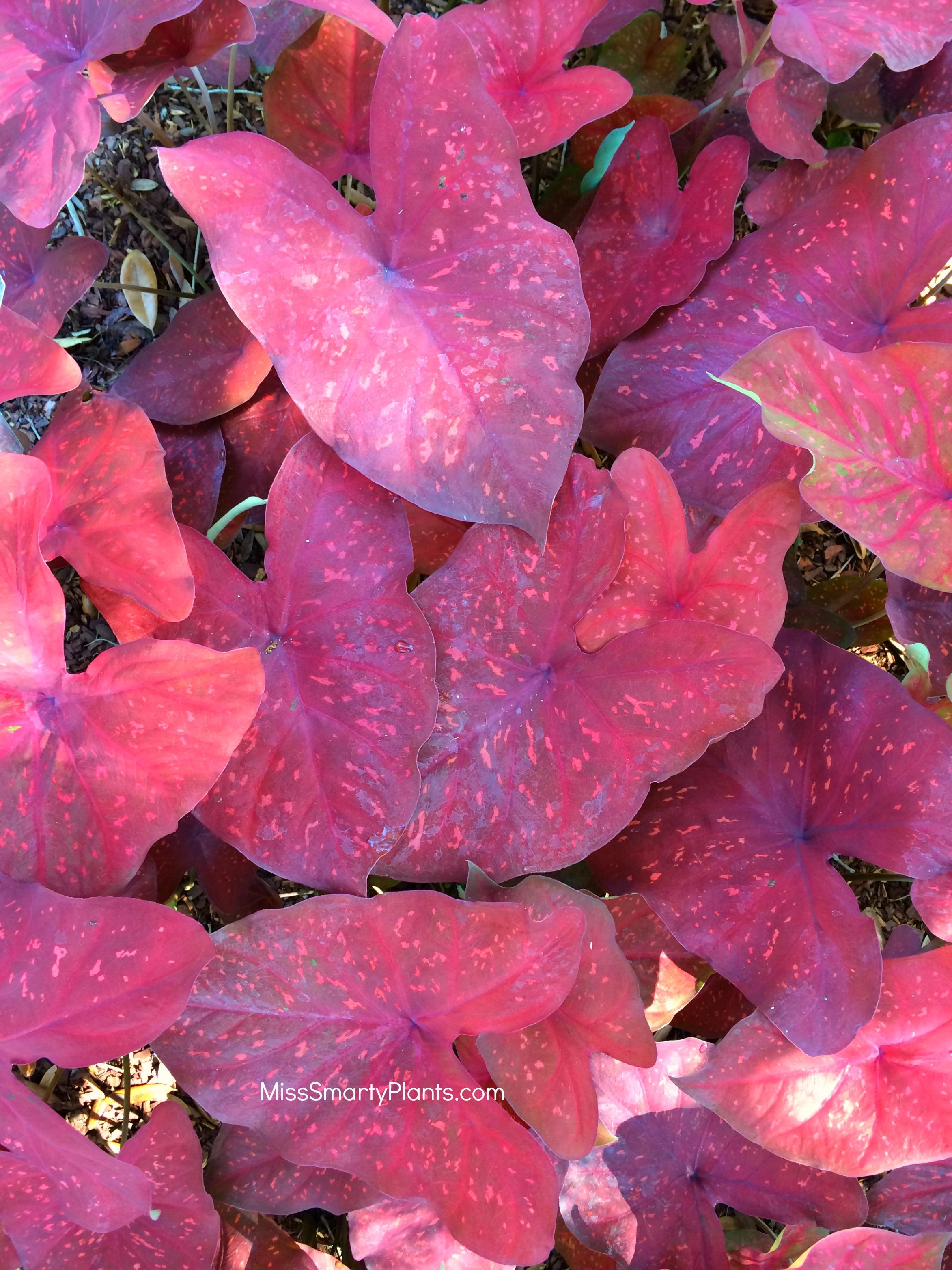 New Caladium Varieties Miss Smarty Plants