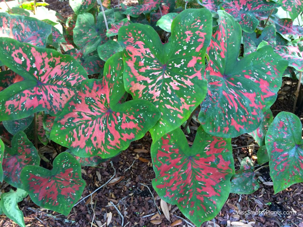 Caladium 'Freckles' from Classic Caladiums new caladium varieties