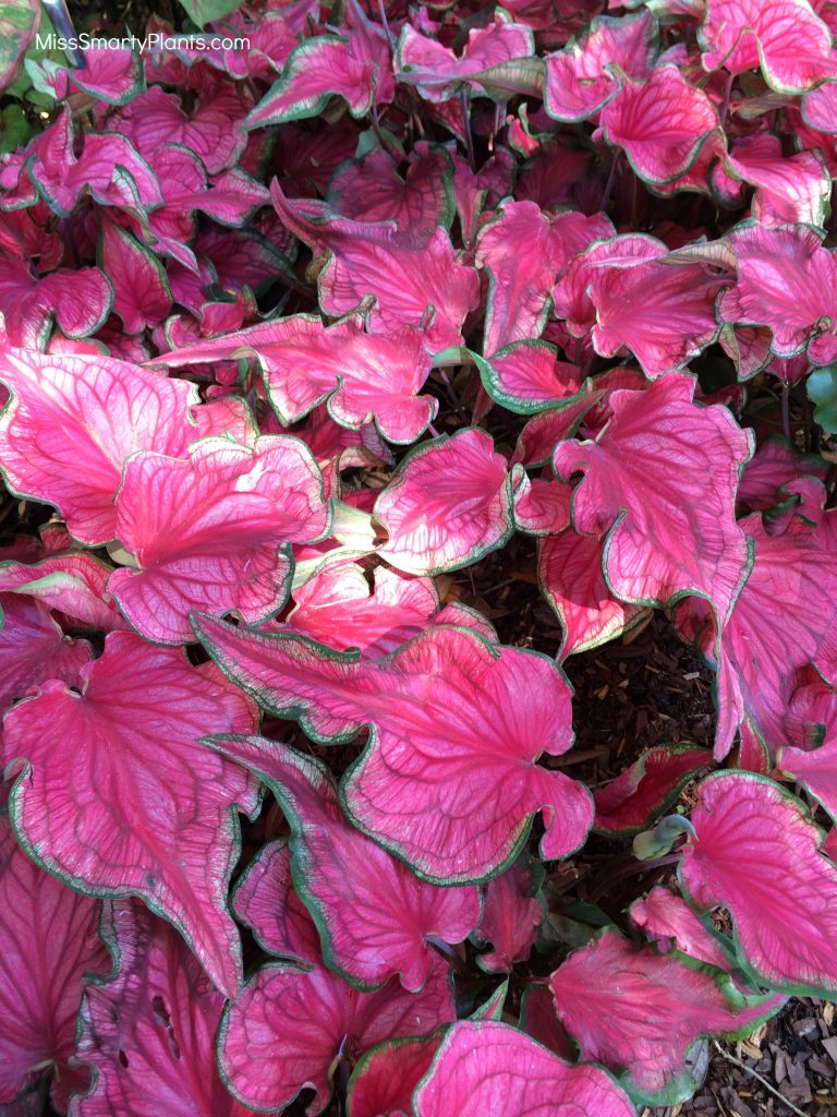 Caladium 'Sizzle' from Bates Sons & Daughters new caladium varieties