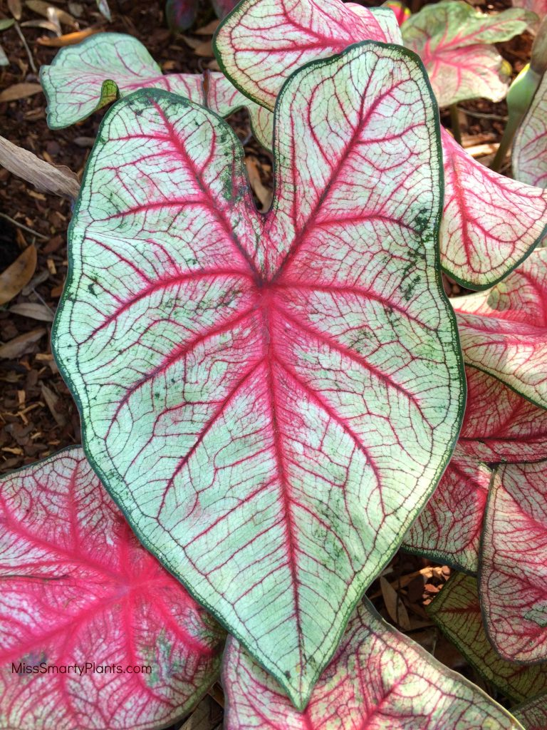 Caladium 'Southern Charm' from Classic Caladiums new caladium varieties