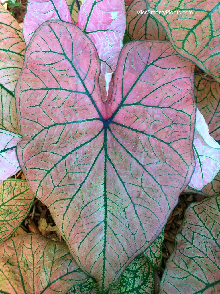 Caladium 'Spring Fling' from Bates Sons & Daughters new caladium varietie