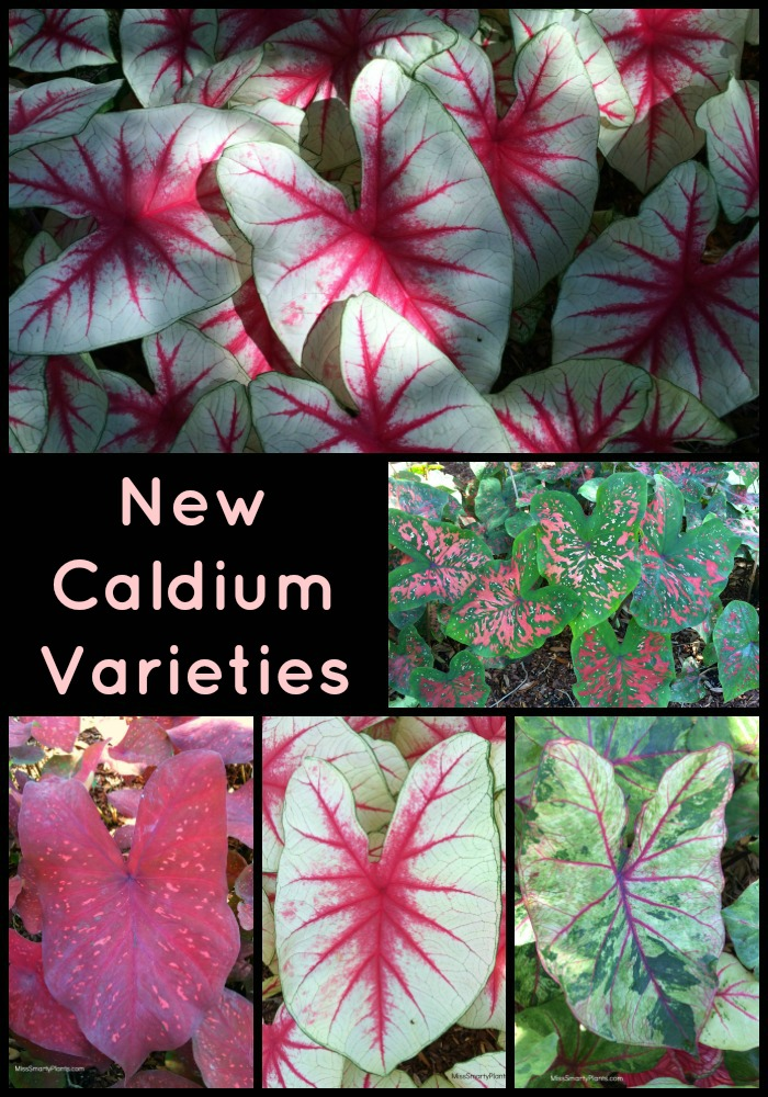 New caladium varieties for the home garden