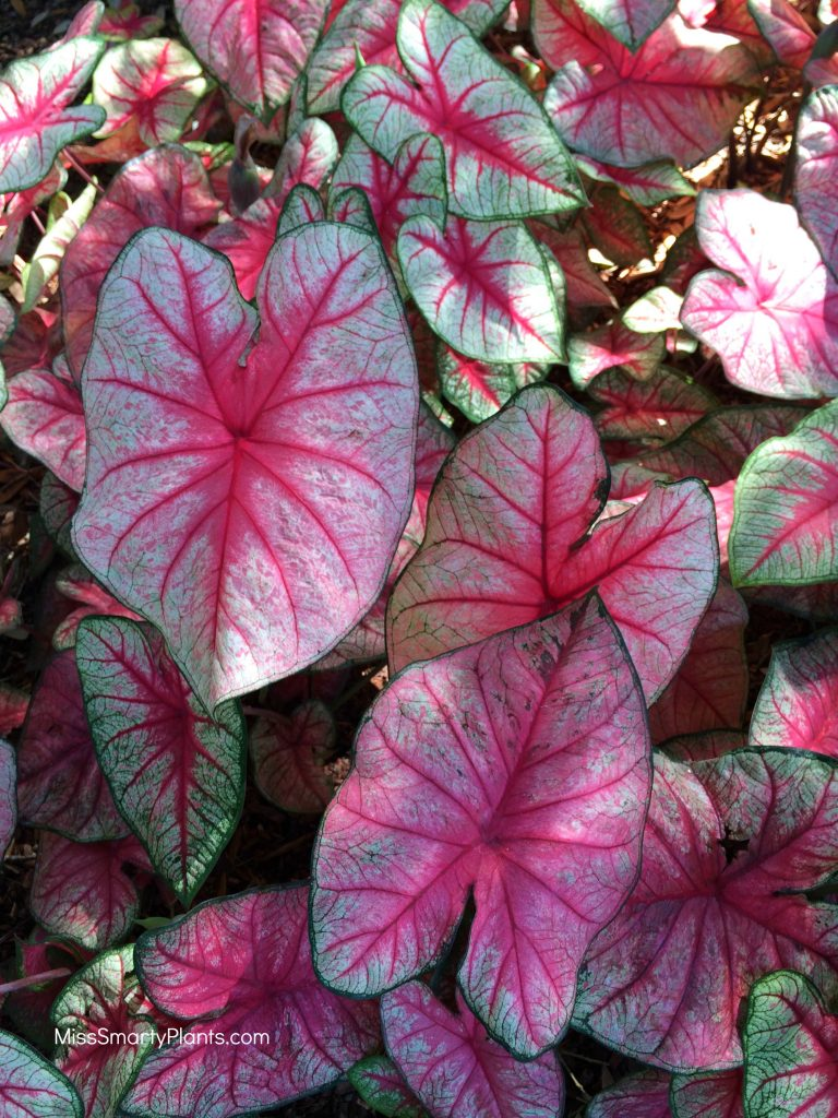 Caladium 'Radiance' from Classic Caladiums new caladium varieties