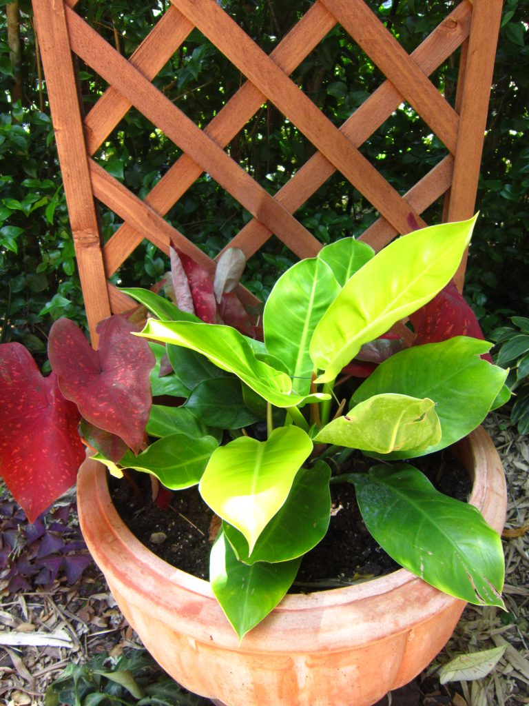 Philodendron Limelight