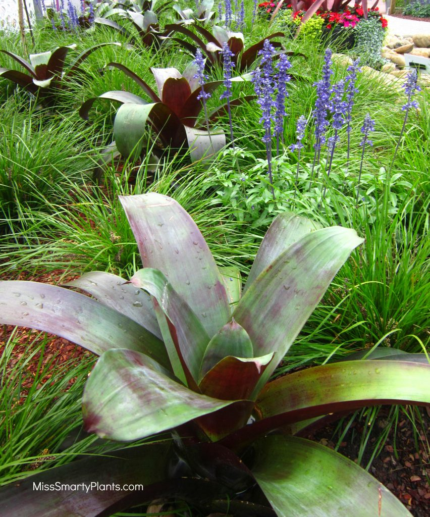 Plant combinations with Imperialis Bromeliad, Alcantarea imperialis, and Lomandra 'Breeze'