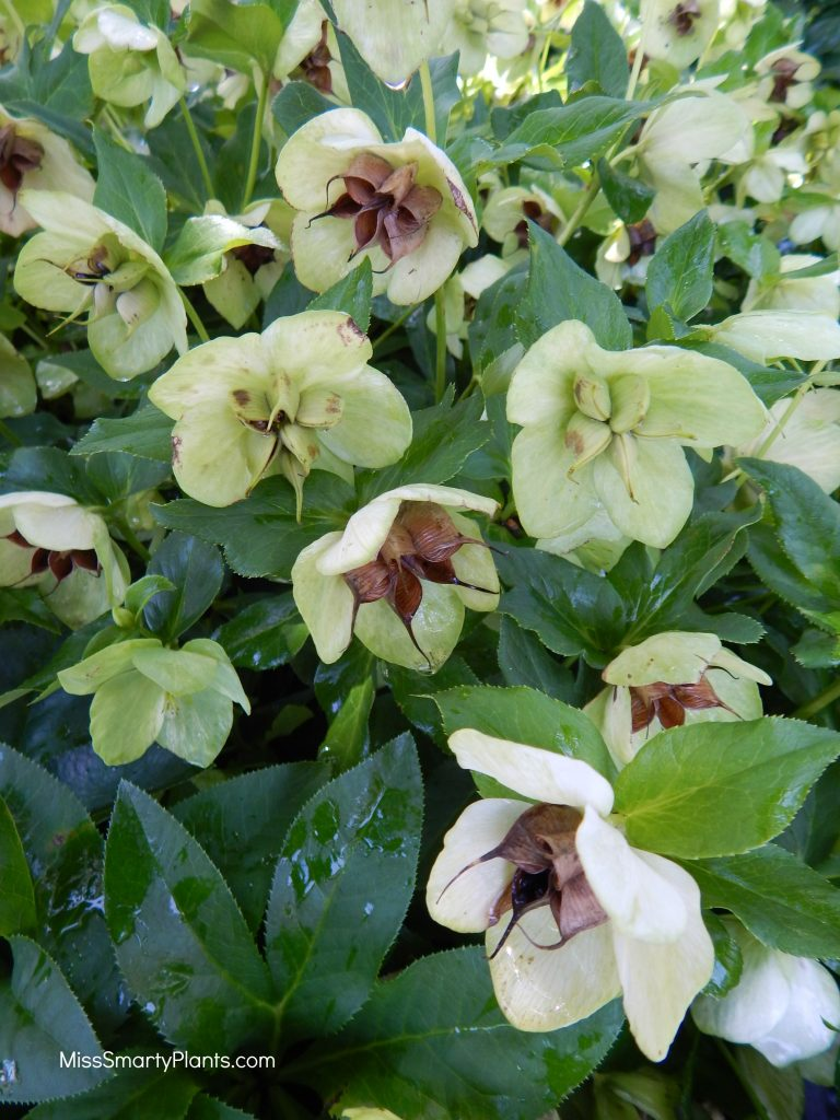 Helleborus 'Pine Knot Select' at Norfolk Botanic Garden