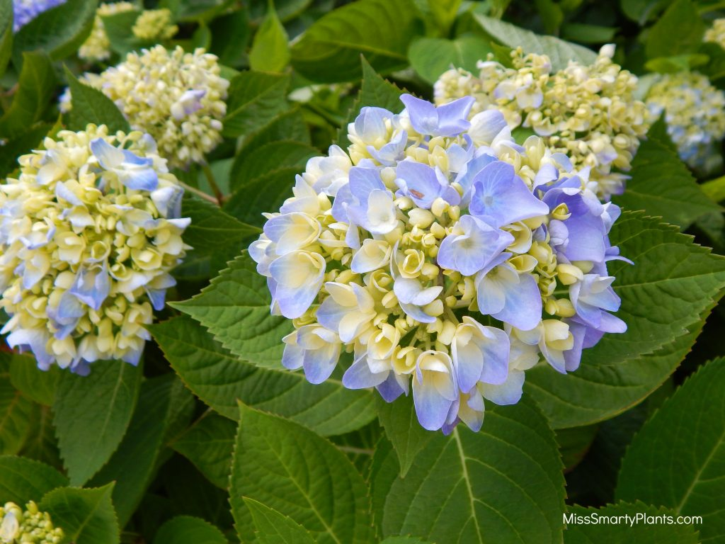 Hydrangea at Norfolk Botanical Garden