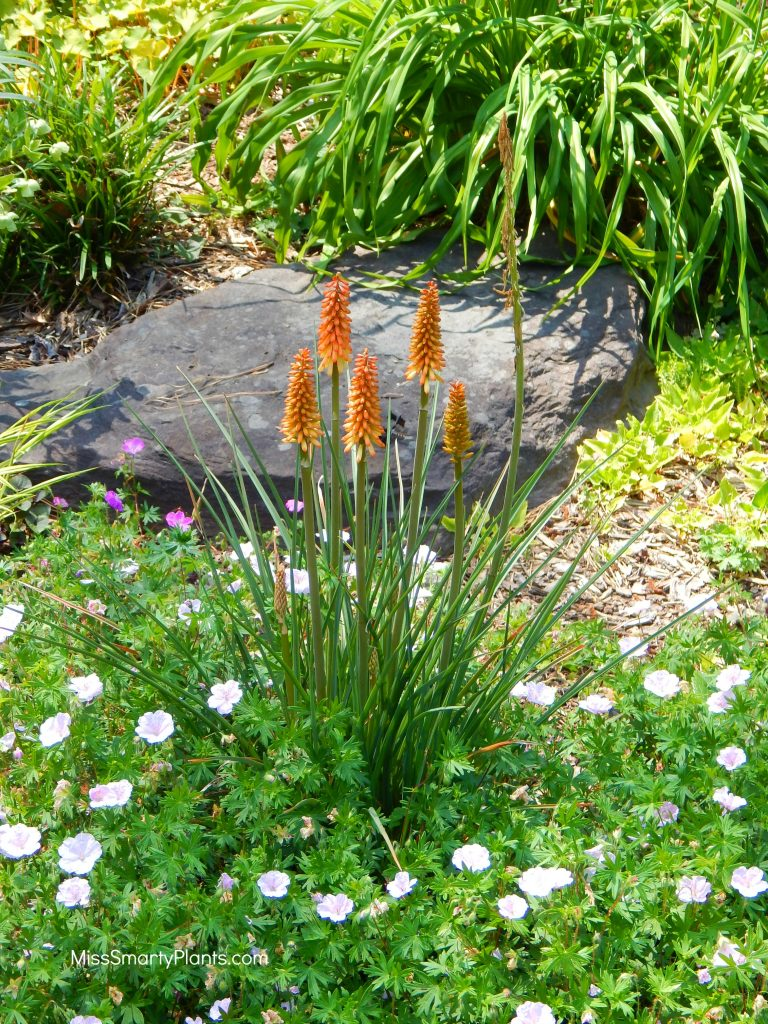 Kniphofia at Norfolk Botanical Garden