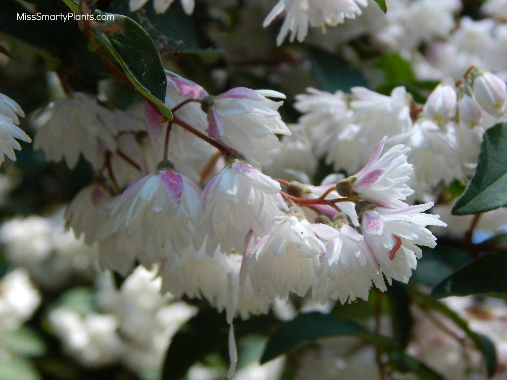 Deutzia scabra 'Codsall Pink'