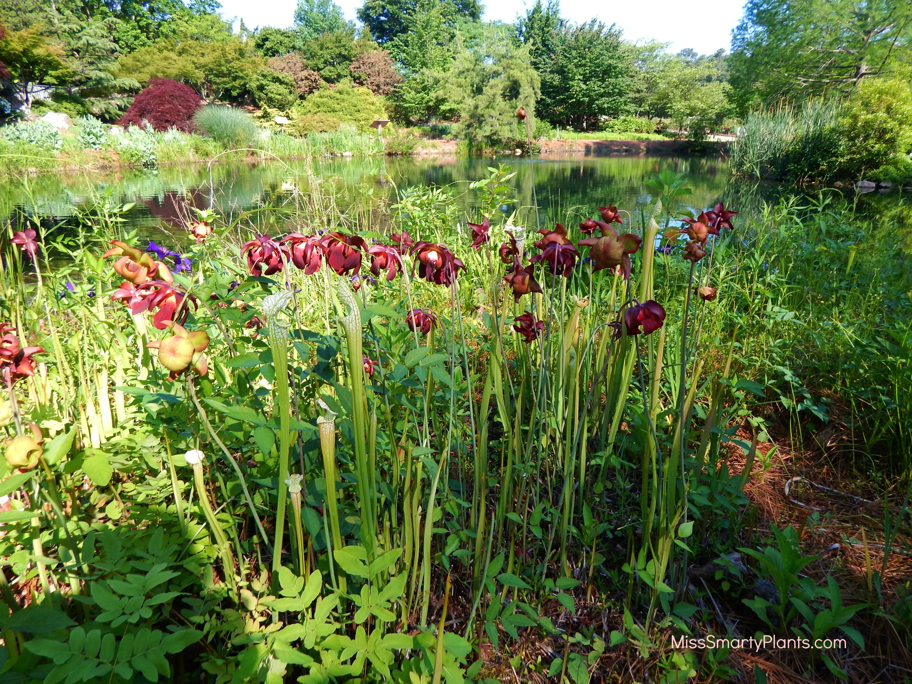 Sarracenia at lewis ginter botanical gardens miss smarty Lewis ginter botanical gardens
