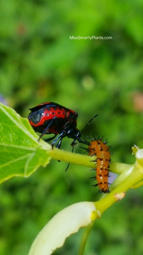 Assassin bug feeding on caterpillar