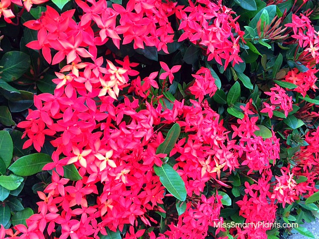 Ixora hedge, orange flower shrub Florida