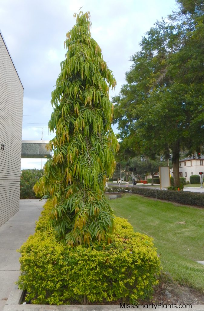 Polyalthia Longifolia Pendula Or Mast Tree Miss Smarty