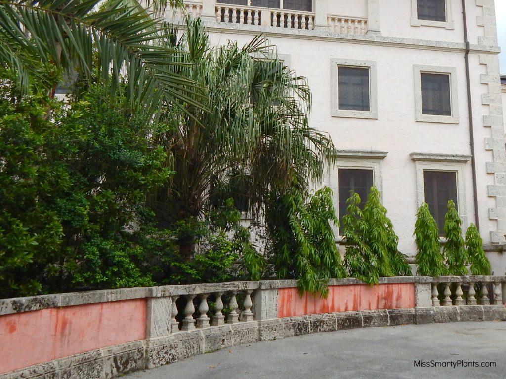 Polyalthia longifolia 'Pendula' or Mast Tree