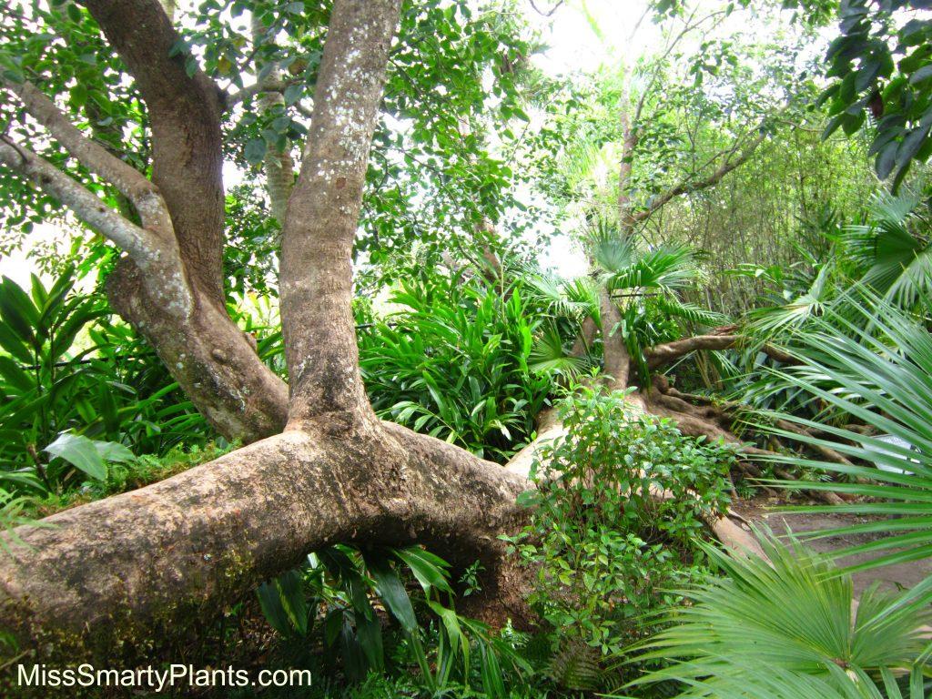 """Sleeping Tree"" this Bischofia javanica"