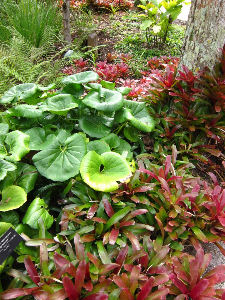 Farfugium and bromeliads