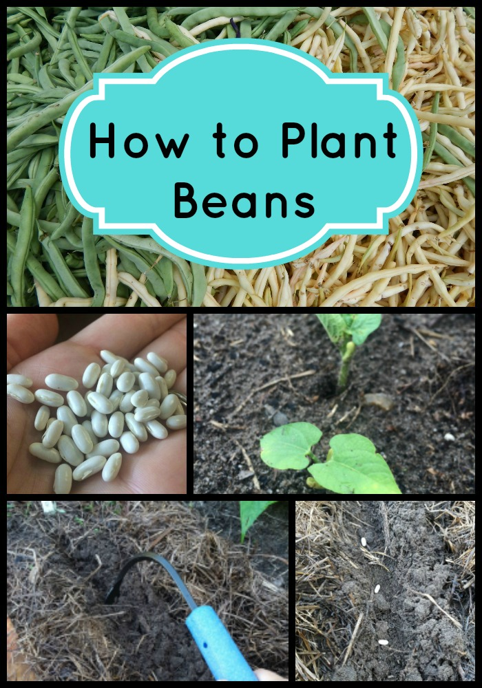 How to plant beans directions