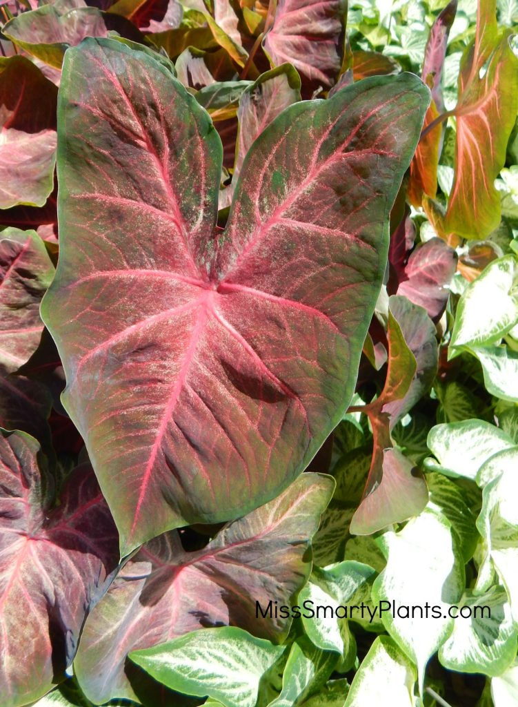 Caladium 'Berries N Burgundy' from Classic Caladiums