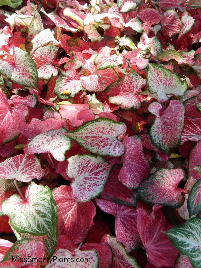 Caladium 'Blushing Bride' from Classic Caladiums