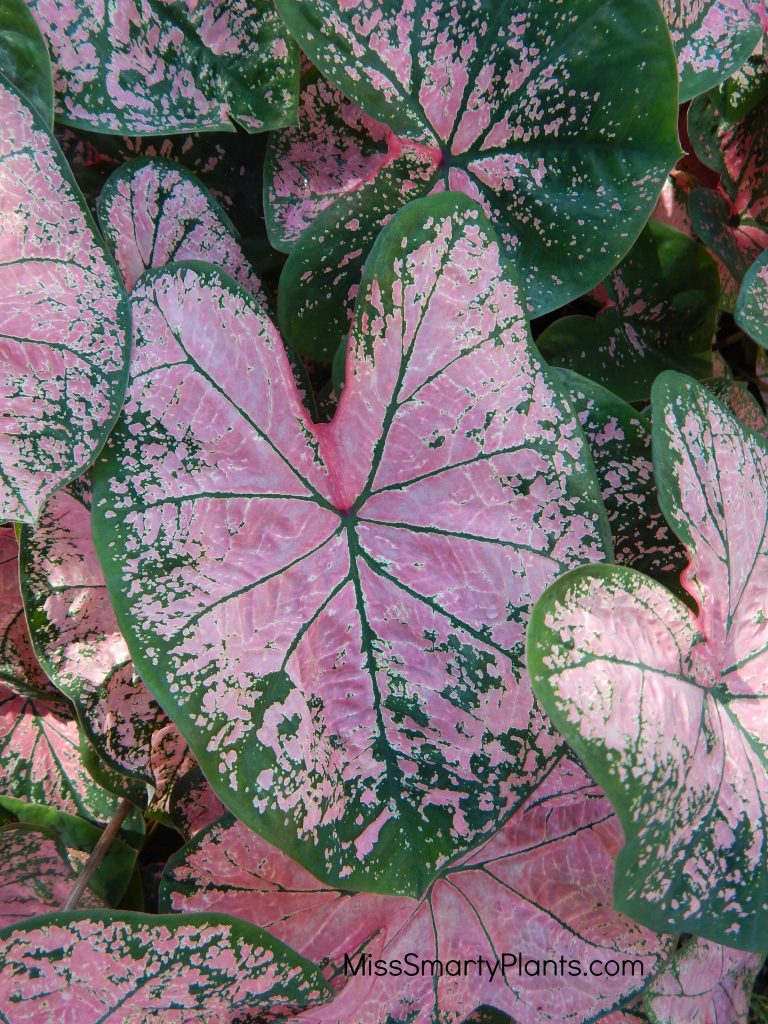 Caladium 'Pink Splash' from Classic Caladiums
