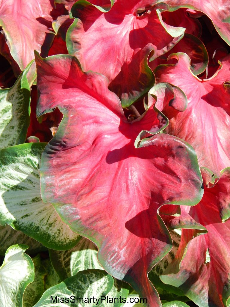 Caladium 'Red Hot' from Classic Caladiums