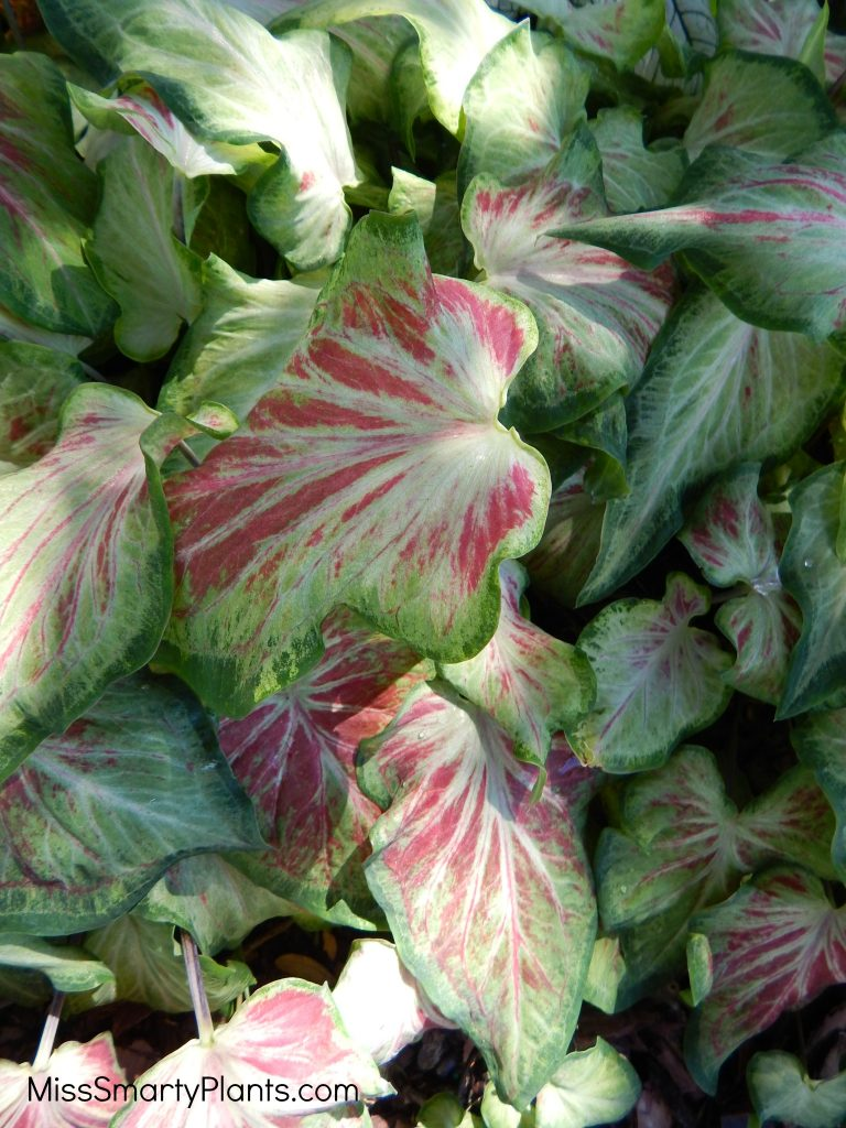 Caladium 'Starburst' from Classic Caladiums