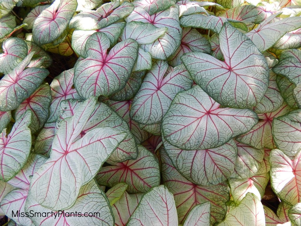 Caladium 'Summer Breeze' from Classic Caladiums