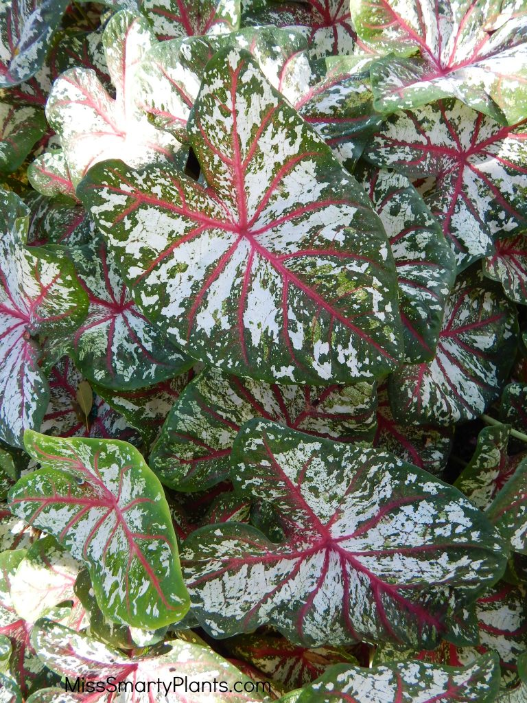 Caladium 'Tapestry' from Classic Caladiums
