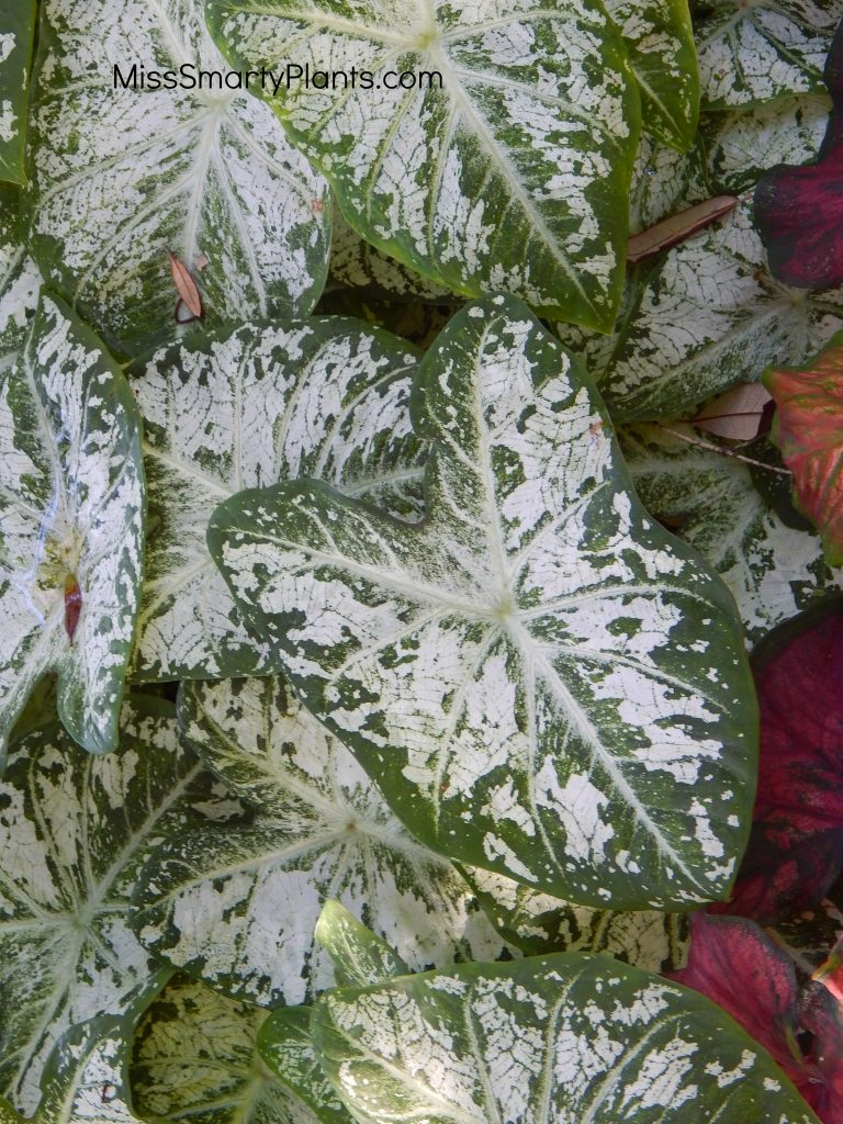 caladium 'White Cap' from Classic Caladiums