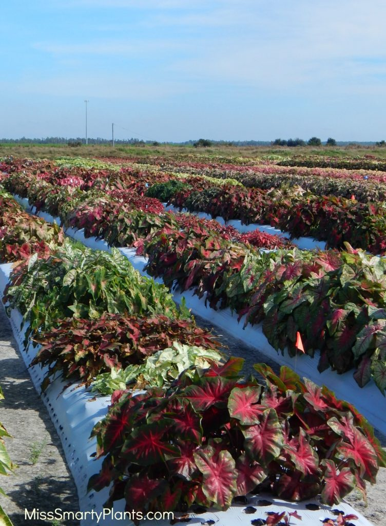 Classic Caladiums caladium fields