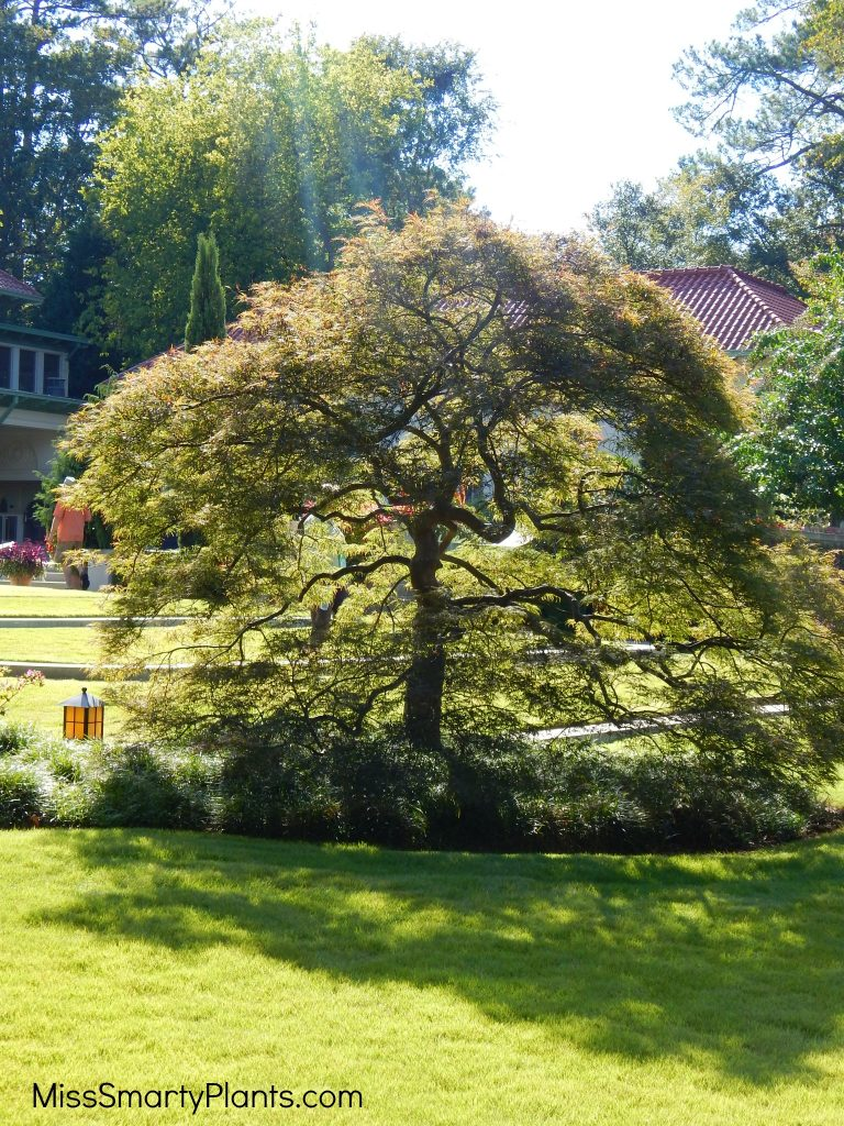 Private garden of Arthur Blank Japanese maple