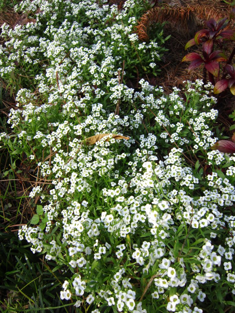 alyssum, best winter flowers for florida