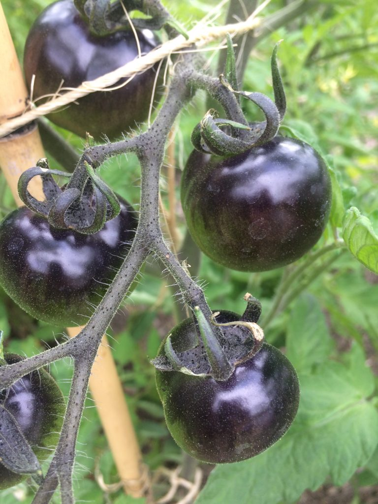 'Indigo Rose' Tomatoes